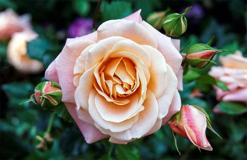 rosa-3-800x400