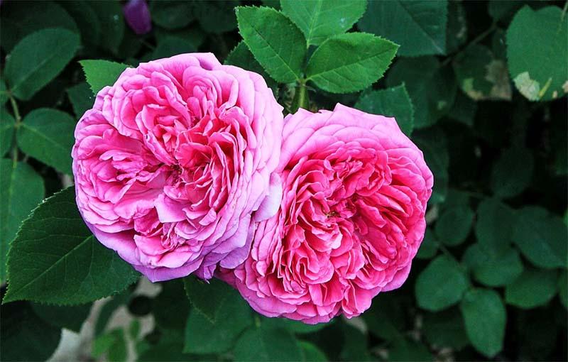rosa-4-800x400