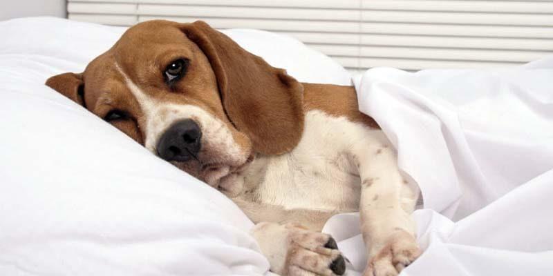 Torsione dello stomaco nel cane-10-800x400