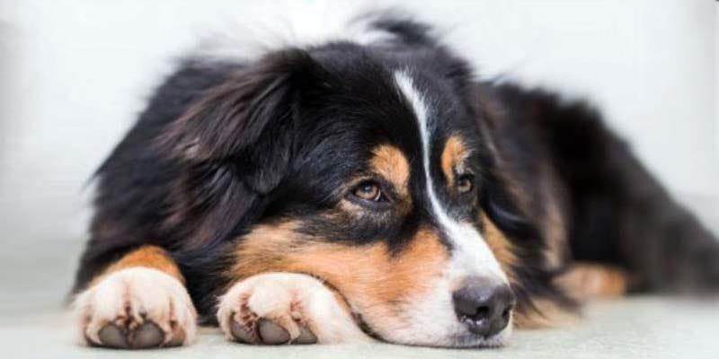 Torsione dello stomaco nel cane-2-800x400