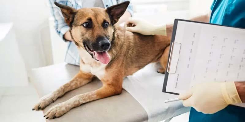 Torsione dello stomaco nel cane-8-800x400