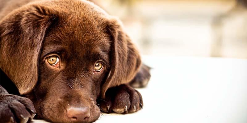Torsione dello stomaco nel cane-9-800x400