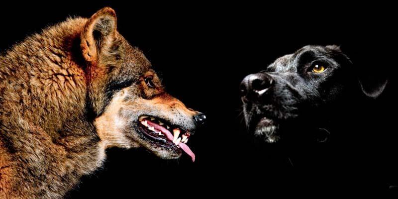 cane discende dal lupo-1-800x400