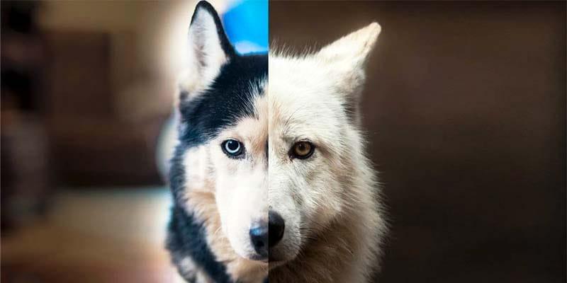 cane discende dal lupo-3-800x400