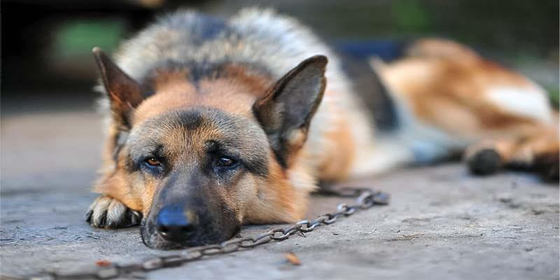cane a catena-4-800x400