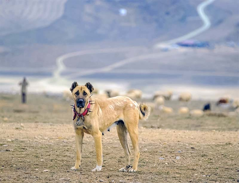 cane femmina di Kangal Coban Copegi