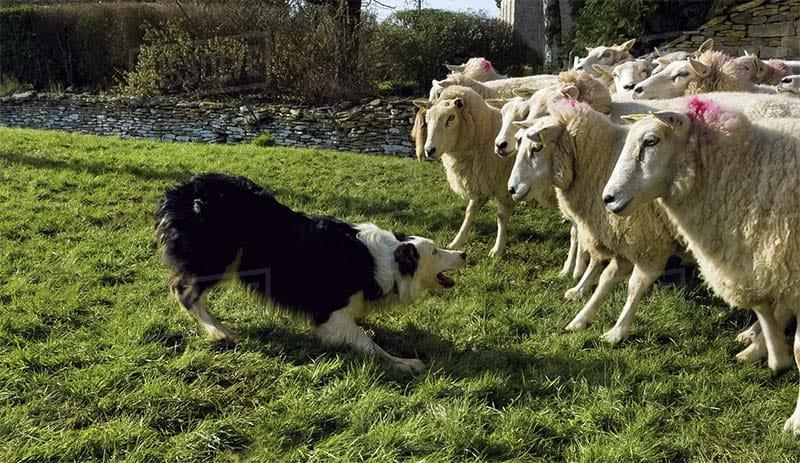 cane sposta le greggi2