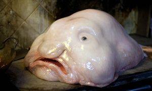 blobfish300x180