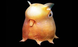 dumbo octopus300x180