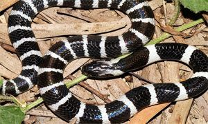 serpente velenoso krait cinese 300x180
