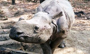 rinoceronte 300x180