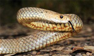 serpente bruno comune 300x180 (velenoso)