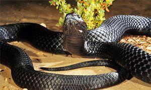 serpente velenoso tigre nero 300x180